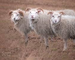 Sheep Home Decor Icelandic Sheep Etsy