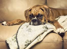 boxer dog vomiting after eating dog eats a box of chocolates dog is sick everywhere in this gross