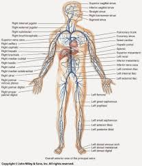 Male External Anatomy Dorsal Human Anatomy Image Collections Learn Human Anatomy Image