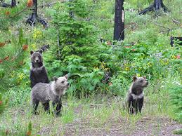 Bears Montana Hunting And Fishing - montana won t allow yellowstone area grizzly bear hunts in 2018 mtpr