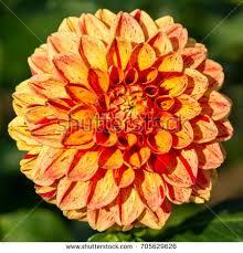 autumn flowers autumn flowers stock images royalty free images vectors