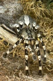 indian ornamental tarantula insect adventure
