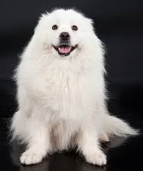 american eskimo dog rescue colorado training american eskimo dogs the sensible way