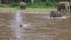 The Blind Men And The Elephant Lesson Plans Video Shows Baby Elephant Kham Lha Wading Across A River To Rescue