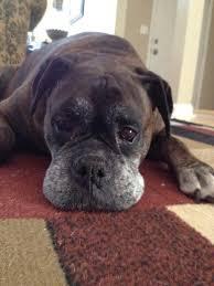boxer dog meme 1022 best for the love of boxers images on pinterest boxer love