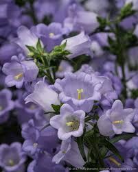Beautiful Flower Pictures Champion Pro Lavender Canterbury Bells U2013 Capanula Medium