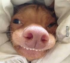 Dog Teeth Meme - good morning animal animal kingdom and doggies