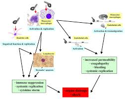 disease modeling for ebola and marburg viruses disease models