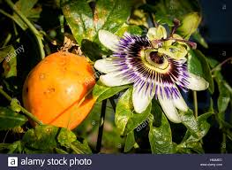 fruit and flower of passiflora caerulea or passion flower in