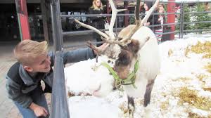 petting real santa reindeer youtube