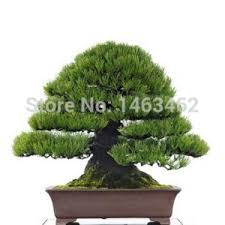 awesome live indoor trees images amazing design ideas luxsee us