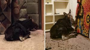 Baseme Woman Shocked To Find Fallen Moose In Son U0027s Basement Bedroom Youtube