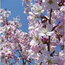 prunus pandora buy cherry blossom tree flowering cherry trees