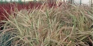 ornamental grass page 1 bloomin designs nursery types of