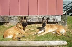 belgian sheepdog breeders ontario wendy maclellan u0027s dogs u2013 k9 cliffhangers