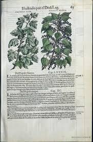 7 best bne dioscorides 1555 images on pinterest botanical