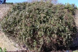 winter clematis landscape architect u0027s pages