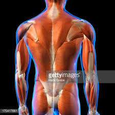 Anatomy Of Human Back Muscles Rear View Of Male Back Muscles Anatomy In Blue Xray Outline Full