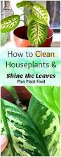 Best Flower Food How To Clean Indoor Houseplants And Shine The Leaves Plus Plant