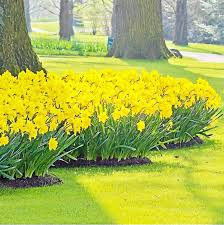 the potting shed plant daffodil bulbs in fall for spring showing