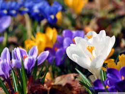 crocus flowers spring hd desktop wallpaper high definition