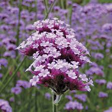 verbena flower verbena lollipop from wayside gardens