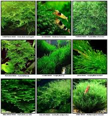 Java Moss Aquascape Aquascape