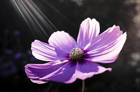 free photo cosmos flowers garden beautiful purple plants max pixel