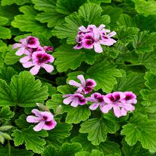 Fragrant Bedding Plants - jazz up your garden with our pink bedding plants