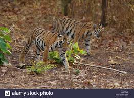two tigers walking in the jungle in tadoba india stock photo