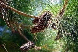 slash pine tree information what is a slash pine tree
