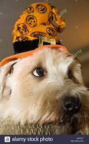 soft coated wheaten terrier in halloween witch hat stock photo