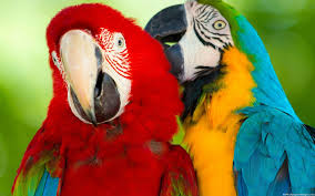 parrots in paradise kealakekua hawaii exotic bird big island of hawaii parrot rescue and rehoming care and education