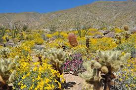 anza borrego wildflowers wildflowers super bloom in southern ca desertusa com mb3