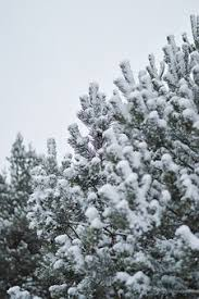 snow covered trees free pictures on pixabay