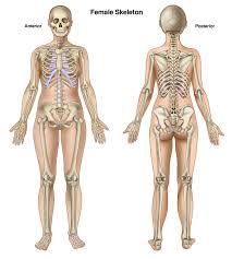 Google Human Anatomy Anterior View Female Skeletal Google Search Medical