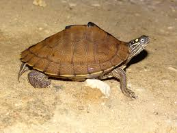 map turtle sabine map turtle graptemys sabinensis amphibians and reptiles