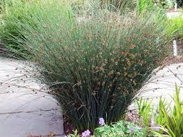 list of california native plants juncus patens grey rush grows about anywhere great structural