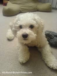 bichon frise puppy 8 weeks house training a puppy all about bichon frise dogs