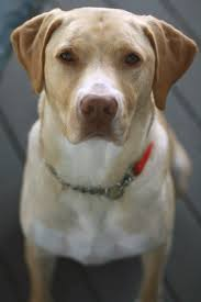 american pitbull terrier qualities why is the pitbull lab mix such a great dog animalso
