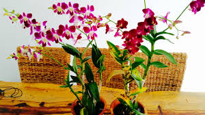 Orchids Facts by Dendrobium Orchids U2013 My First Orchid