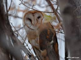 North American Barn Owl Neovista Birding Test Your Knowledge Of North American Owls
