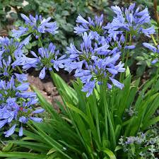 plante vivace soleil plantes vivaces clematite net spécialiste des plantes de jardin