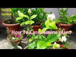 Fertilizer For Flowering Shrubs - how to care jasmine plant fertilizer for mogra plant hindi urdu