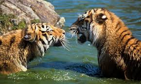 siberian tigers photos wwf