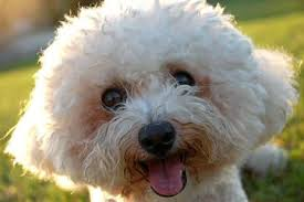 bichon frise dog breeders bichon frise my dog breeders