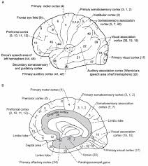 Anterior Association Area Brodmann Areas And Lesions Epomedicine