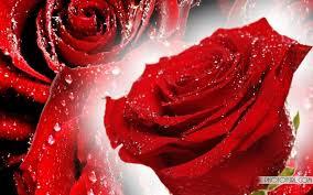wallpaper flower red rose wallpaper red rose free download