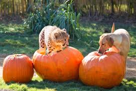 halloween horror nights busch gardens behind the thrills kasi mtani and cheetahs at busch gardens