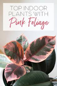 top house plants trending indoor plants with pink foliage add colour to your